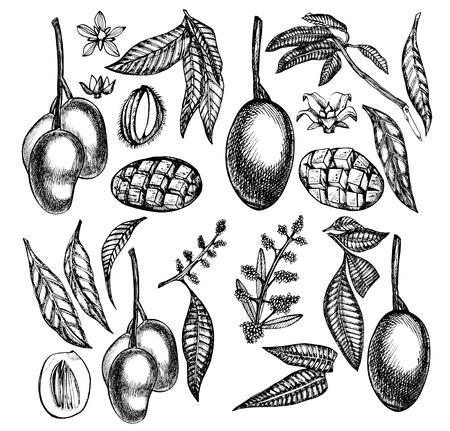 Conjunto de la plantilla de diseño vintage árbol de mango. Fruta de mango botánico Mango grabado Ilustración gráfica. Foto de archivo - 90239578