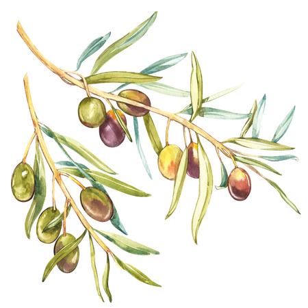 Akwarela realistyczna ilustracja czarna i zielona oliwki gałąź odizolowywająca na białym tle. Projekt dla oliwy z oliwek, kosmetyków naturalnych, produktów do pielęgnacji zdrowia.