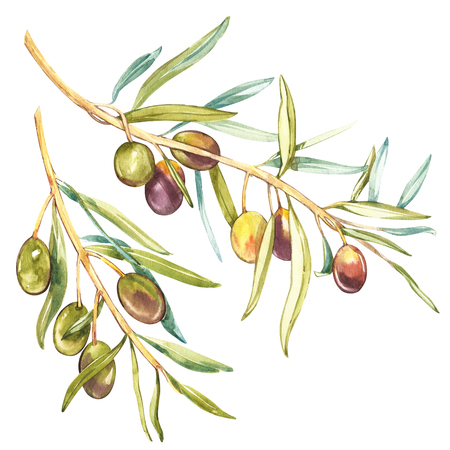 Watercolor realistic illustration of black and green olives branch isolated on white background. Design for olive oil, natural cosmetics, health care products. Stok Fotoğraf - 90439607