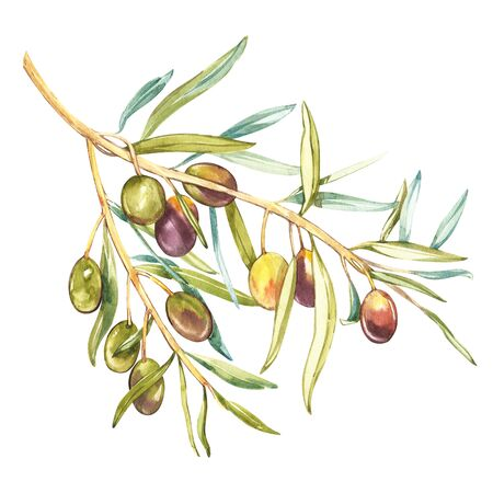 A branch of ripe green olives. Watercolor and botanical illustration isolated on white background. Elements for decorating the design of packaging. Stock Photo