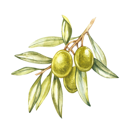 Olive fruit and olive leaves on a white background. Watercolor illustrations. Botanical print.