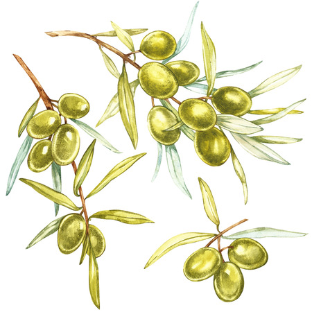 Set A branch of juicy, ripe green olives on a white background. Botanical illustration for packaging design.