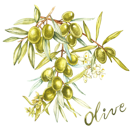 A branch of juicy, ripe green olives and flowers on a white background. Botanical illustration for packaging design. Letter-Olive.