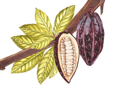 Set van botanische illustratie. Aquarel cacao fruit collectie geïsoleerd op een witte achtergrond. Hand getrokken exotische cacao planten. Botanisch cacao bonenframe. Plaats voor tekst. Stockfoto