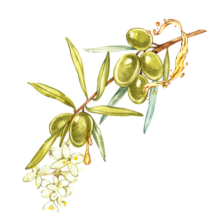 Watercolor realistic illustration of green olives branch and flowers isolated on white background. Drops and splashes of olive oil. Watercolor and botanical illustration.