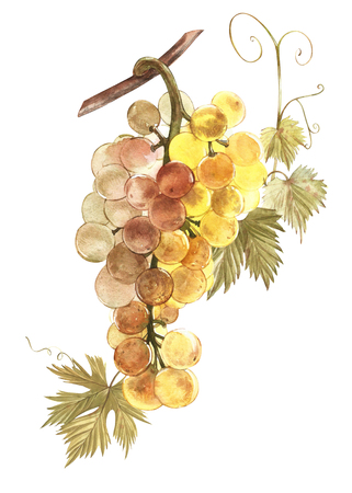 Watercolor illustration of bunches of white grapes. Hand drawn watercolor illustration.