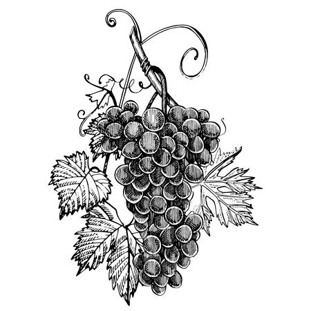 ブドウ モノクロ スケッチ。手描きぶどうを房します。白い背景上に分離。手描きスタイルのイラストを彫刻します。 写真素材 - 92226625