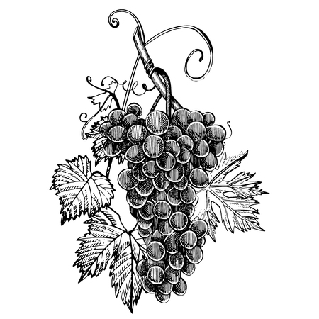 Grapes monochrome sketch. Hand drawn grape bunches. Isolated on white background. Hand drawn engraving style illustrations.