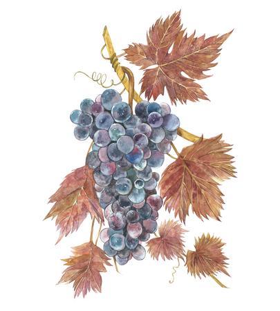 ブドウの束の水彩画。●手描き水彩イラスト。