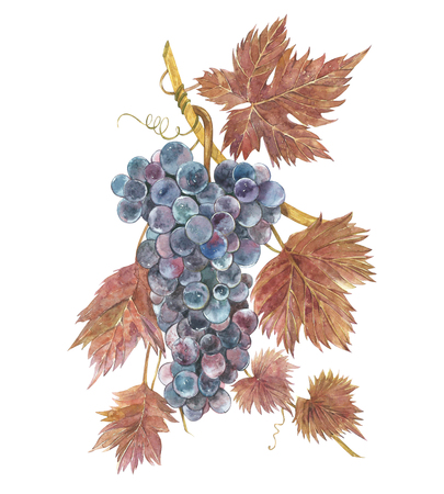 Watercolor illustration of bunches of grapes. Hand drawn watercolor illustration.