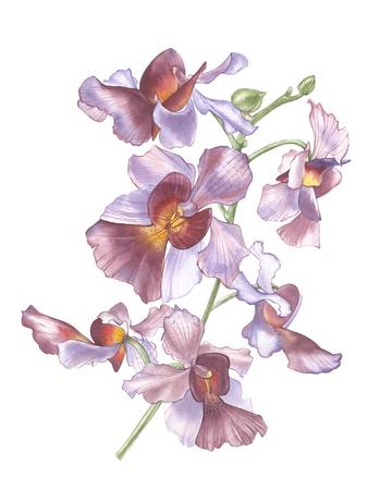 De Bloem van Singapore, Illustratie van Vanda Miss Joaquim Flowers. De nationale bloem van Singapore. Aquarel Hand getekend violet orchidee geïsoleerd op een witte achtergrond. Realistische botanische illustratie.