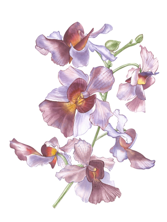 Singapore Flower, Illustration of Vanda Miss Joaquim Flowers. The National Flower of Singapore. Watercolor Hand drawn violet orchid isolated on white background. Realistic botanical illustration.