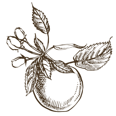 Collection of hand drawn apples. Illustrations in engraved style.