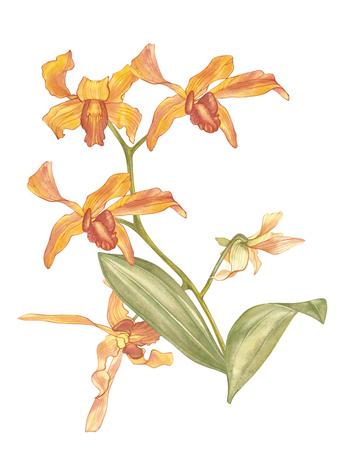 싱가포르 꽃, Saleha 꽃의 그림입니다. 싱가포르의 국립 꽃. 수채화 손으로 그린 오렌지 난초 흰색 배경에 고립. 현실적인 식물 그림입니다. 스톡 콘텐츠