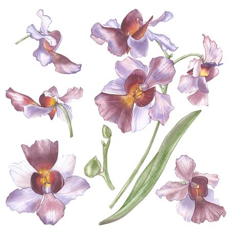 싱가포르 꽃, Vanda 미스 Joaquim 꽃의 그림. 싱가포르의 국립 꽃. 수채화 손으로 그린 바이올렛 난초 흰색 배경에 고립. 현실적인 식물 그림입니다.