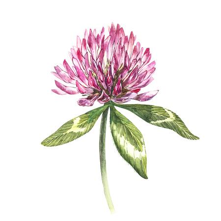 葉っぱの赤いクローバーの花。白い背景に隔離された水彩植物のイラスト。聖パトリックの日おめでとう