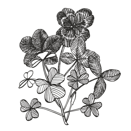 Clover vector compositions. Isolated wild plant and leaves on white background. Herbal engraved style illustration. Detailed botanical sketch. Çizim