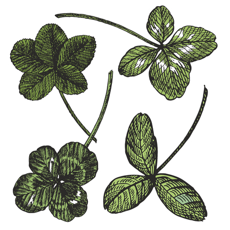 Green Clover vector set. Isolated wild plant and leaves on white background. Detailed botanical sketch. A set of clover leaves - four-leafed and trefoil.