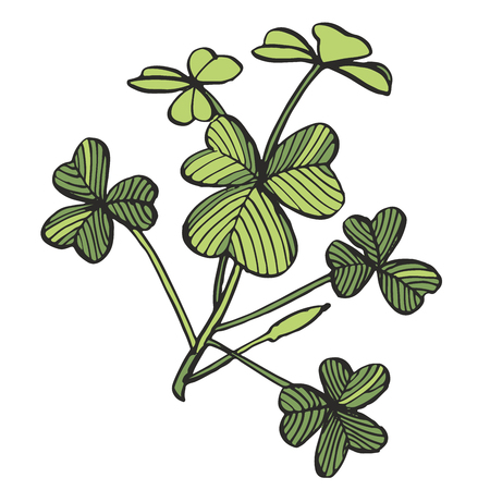 Green Clover vector set. Isolated wild plant and leaves on white background. Detailed botanical sketch Illustration