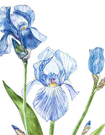 Flowers of Iris. Watercolor hand drawn botanical illustration of flowers isolated on a white background.