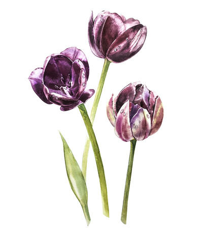 Watercolor hand painted set of tulips. Can be used as background for web pages, invitations, greeting cards, patterns, textile design, wallpapers, package design and so on.