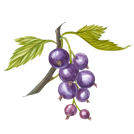Hand-drawn watercolor blackcurrant. Can be used as a greeting card for background, birthday, mothers day and so on. Romantic background for web pages, wedding invitations, wallpaper.