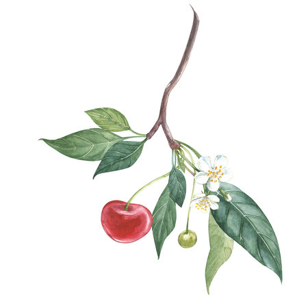 Collection of highly detailed hand drawn cherry. Watercolor botanical illustration isolated on white background. Stockfoto