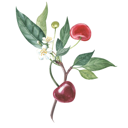 Collection of highly detailed hand drawn cherry. Watercolor botanical illustration isolated on white background. Stok Fotoğraf