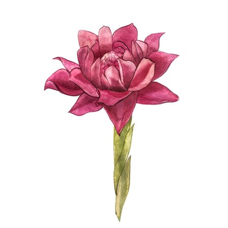 Hand Drawn Ginger flowers watercolor sketch. Illustration For Food Design. Stock Photo