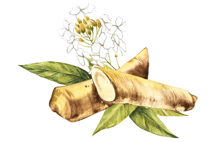 Watercolor horseradish sketch. Botanical illustration of organic, eco plant. Isolated on white background. Illustration For Food Design. Stock Photo