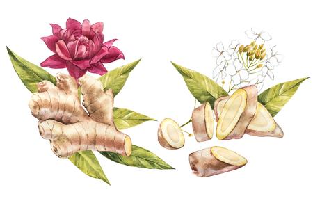 Hand Drawn Ginger and Horseradish watercolor sketch. Illustration For Food Design. Banco de Imagens - 101562469