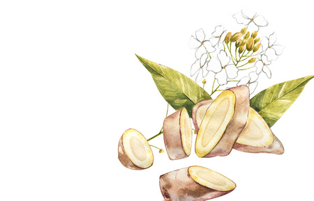 Hand Drawn Ginger watercolor sketch. Illustration For Food Design. Stock Photo