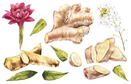 Boceto acuarela dibujado a mano de jengibre y rábano picante. Ilustración para el diseño de alimentos.