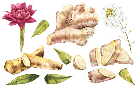 Hand Drawn Ginger and Horseradish watercolor sketch. Illustration For Food Design. Banco de Imagens - 102465623