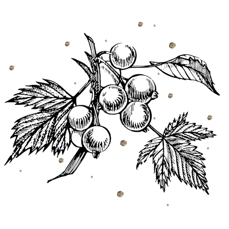 Hand drawn black currant sketch set. Forest berries illustrations. Isolated on white background. Retro sketch style vector illustration. Gold points.