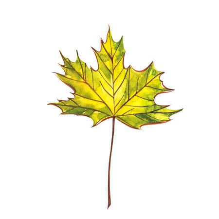 Autumn leaf - Norway maple. Autumn maple leaf isolated on a white background. Watercolor illustration. Stock Photo