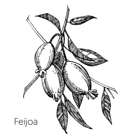 Raccolta di frutta feijoa, fiori, foglie e fetta di feijoa. Illustrazione disegnata a mano di vettore Vettoriali
