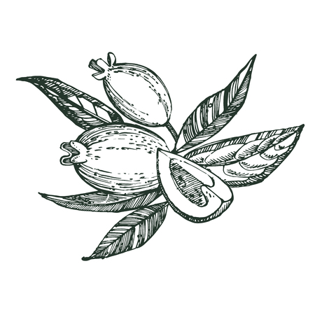 Collection of feijoa fruit, flower, leaves and feijoa slice. Vector hand drawn illustration