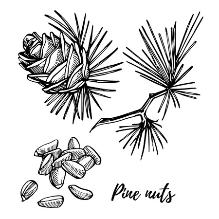 Pine nuts and cedar cone vector hand drawn illustration.
