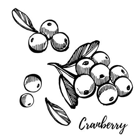 Hand drawn sketch style cranberry illustrations isolated on white background. Fresh food vector illustration. Illustration