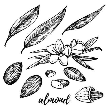 Almonds sketch illustrations. Vector Hand drawn illustrations isolated on white background Vettoriali