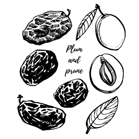 Prunes and plums vector hand drawn illustration. Ink sketch of nuts. Hand drawn vector illustration. Isolated on white background.