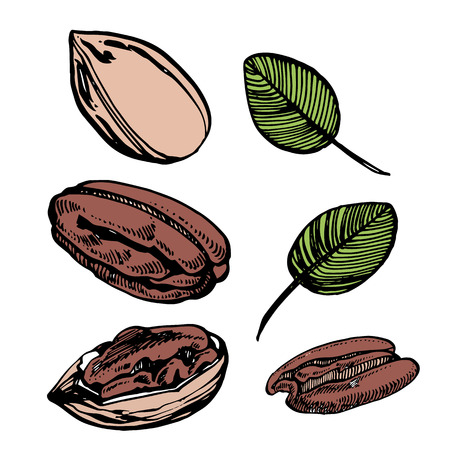 Pecan nuts and leaves vector hand drawn illustration. Ink sketch of nuts. Hand drawn vector illustration. Isolated on white background.