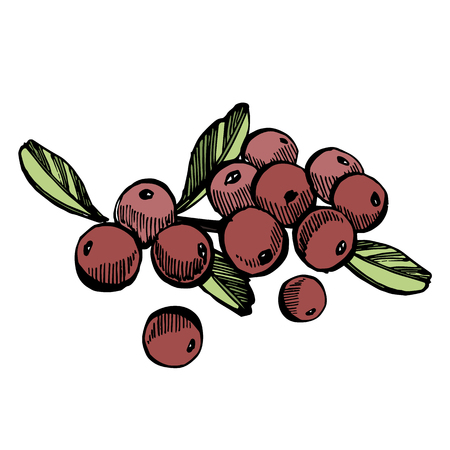 Hand drawn sketch style cranberry illustrations isolated on white background. Fresh food vector illustration. 向量圖像