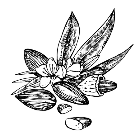 Illustrazioni di schizzo di mandorle. Illustrazioni disegnate a mano di vettore isolate su fondo bianco.