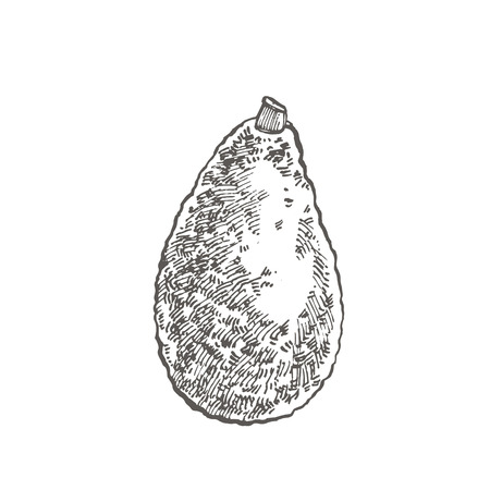 Avocado. Vector hand drawn illustrations. Tropical summer fruit engraved style illustration