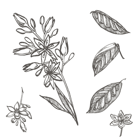 Avocado flowers. Vector hand drawn illustrations. Tropical plant engraved style illustration