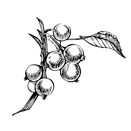 Hand drawn black currant sketch set. Forest berries illustrations. Isolated on white background 版權商用圖片