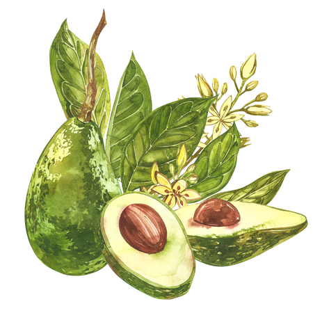 Avocado watercolor hand draw illustration isolated on white background Stok Fotoğraf
