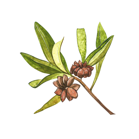 Star anise plants isolated on white background. Watercolor botanical illustration of culinary and healing plant star anise. Banco de Imagens